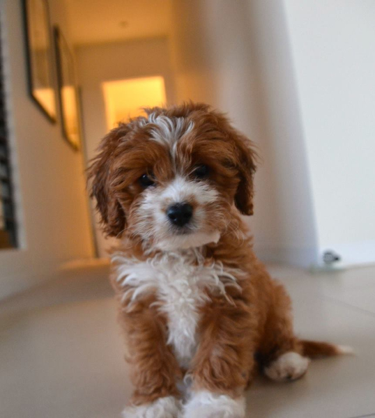 lily-cavoodle-1