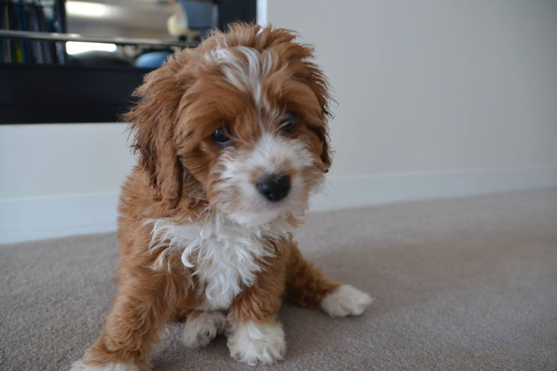 Cavoodles | Chevromist Kennels Puppies Australia
