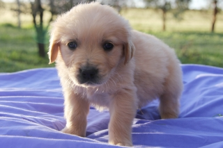 golden-retriever-gmccm4b