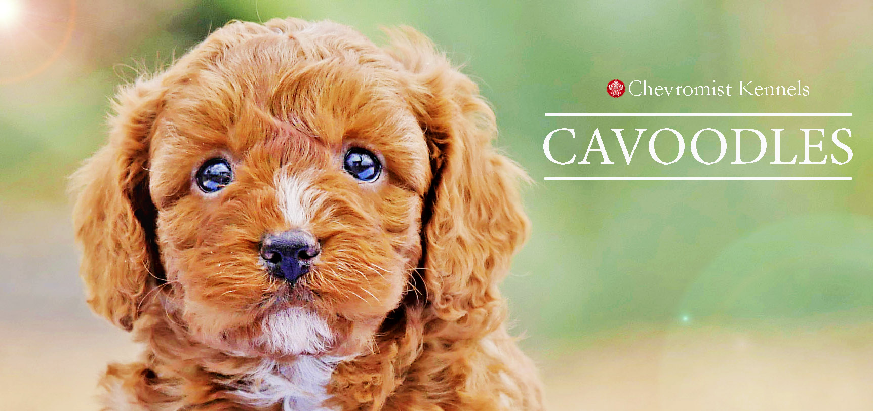 Cavoodles Chevromist Kennels Puppies Australia