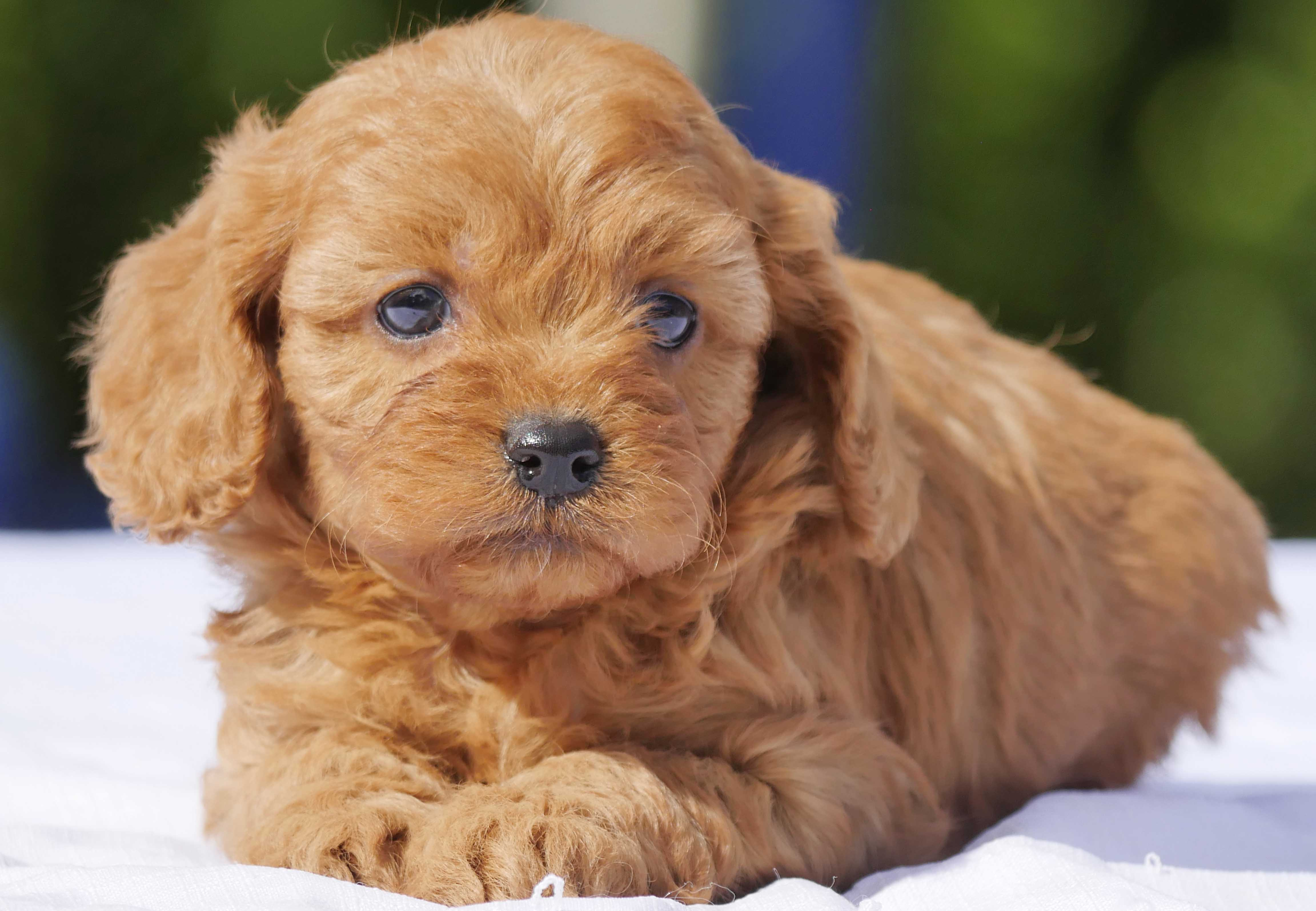 Cavoodle Puppies For Sale | Chevromist Kennels Puppies ...