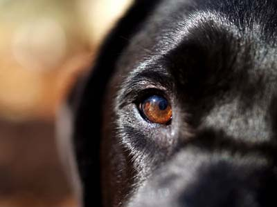 Healthy dog eye